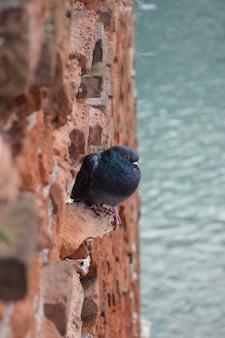 Um pombo senta-se em uma parede vertical de tijolos antigos. abaixo, em um fundo desfocado, está o rio.