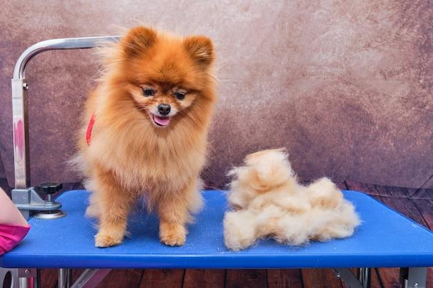 Um pomeranian está na mesa. o aparador penteou o pelo do cachorro. sobre a mesa está a lã de um pomerânia.