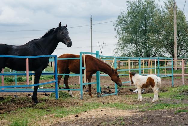 Um pônei bonito e jovem cheira e mostra interesse nos cavalos adultos no rancho.