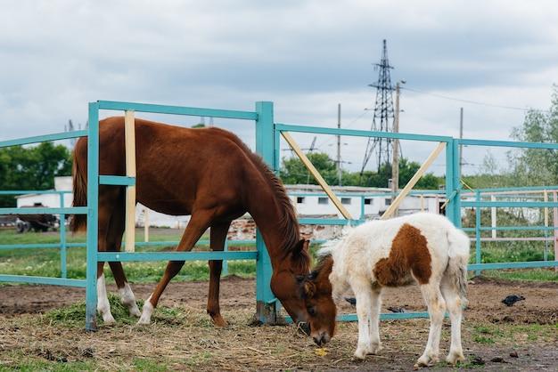 Um pônei bonito e jovem fareja e mostra interesse pelos cavalos adultos no rancho. criação de animais e criação de cavalos.