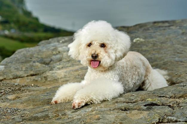 Um poodle branco deitado nas montanhas