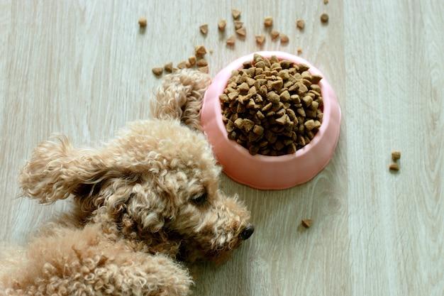 Um poodle marrom está deitado ao lado de uma tigela de comida