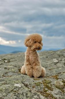 Um poodle no topo de uma montanha com um lago atrás