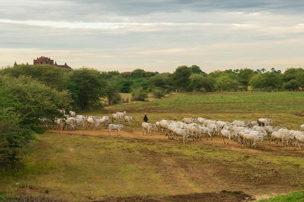 Um pôr do sol tranquilo e descontraído com um rebanho de gado zebu em myanmar