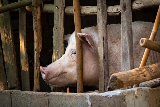 Um porco na fazenda. animal de fazenda.