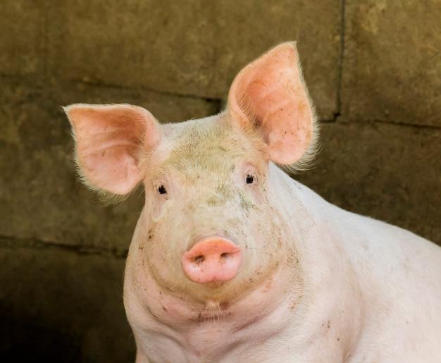 Um porco na fazenda. farm animam.
