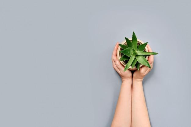 Um pote de aloe vera flor nas mãos femininas, isoladas em uma parede cinza com um espaço de cópia.