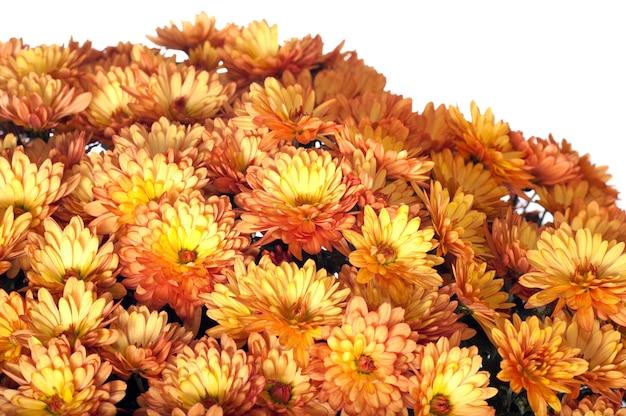 Um pote de lindos crisântemos laranja de outono isolado no fundo branco