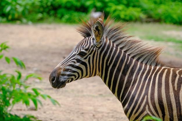 Um potro e mãe zebra planícies andando pela grama verde longa