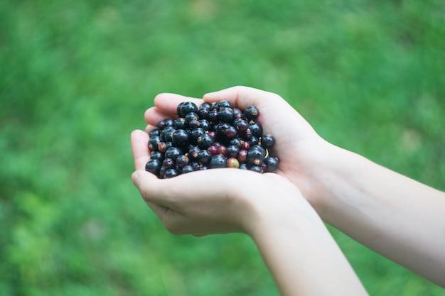 Um punhado de floresta madura groselha preta (blackberry) nas mãos