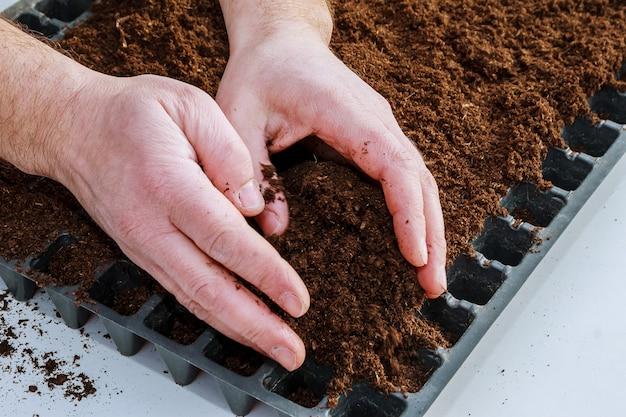 Um punhado de terras férteis nas mãos do fazendeiro. semeando sementes. mudas em crescimento.