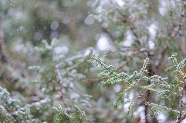 Um raminho de abeto jovem adormece na neve pesada. mau tempo bom inverno.