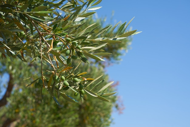 Um raminho de oliveira com azeitonas verdes e céu azul ao fundo.