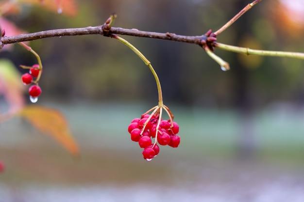 Um ramo com frutos maduros de viburnum em pingos de chuva em uma manhã nublada de outono