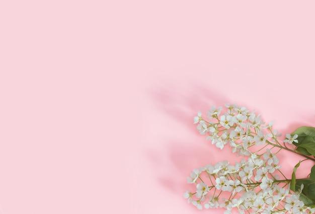 Um ramo da cereja de pássaro em um rosa delicadamente pastel.