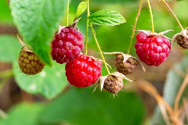Um ramo de framboesas maduras na floresta. bagas vermelhas doces crescendo em uma framboesa