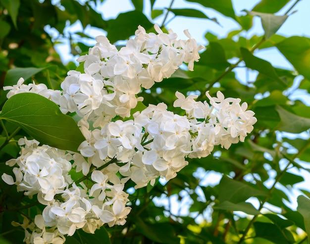 Um ramo de lilás branco contra o céu azul, close-up