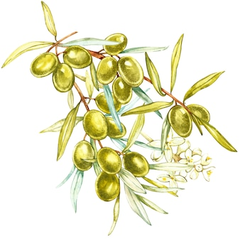 Um ramo de suculentas, maduras azeitonas verdes e flores sobre fundo branco. ilustração em aquarela botânica.