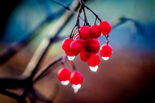 Um ramo de uma amora de orvalho com bagas vermelhas brilhantes nas quais uma gota de chuva é visível