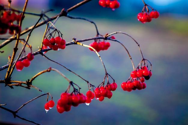 Um ramo de uma flor rosa com bagas vermelhas brilhantes nas quais uma gota de chuva é visível