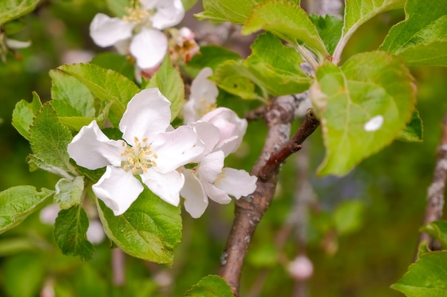 Um ramo florescendo de macieira em maio. macieiras brancas em flor à luz do sol. temporada de primavera, cores da primavera.