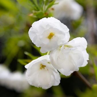Um ramo florido de macieira na primavera