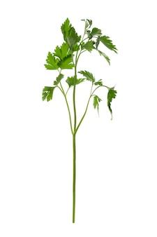 Um ramo fresco de salsa verde isolado no fundo branco