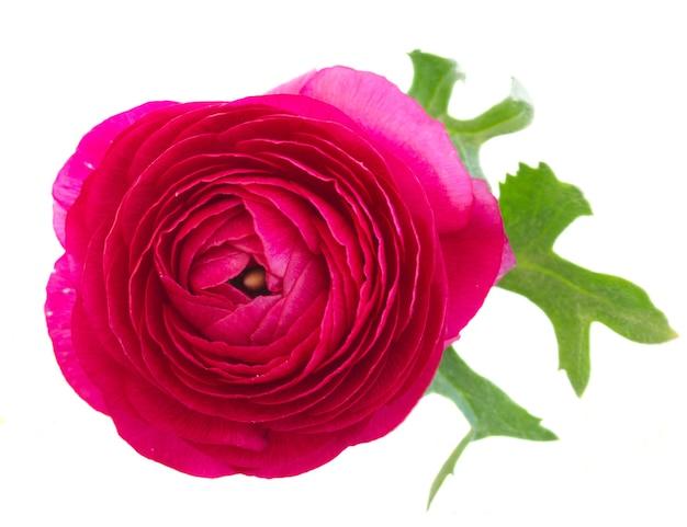 Um ranúnculo rosa flores com folha isolada em branco