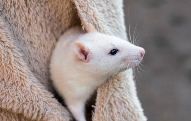 Um rato branco aninhado no bolso da jaqueta de uma mulher.