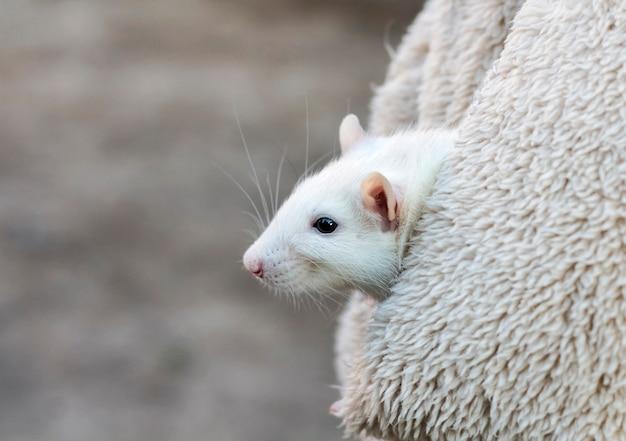 Um rato branco domesticado em uma caminhada ao ar livre em um bolso de jaqueta com uma cópia do espaço.