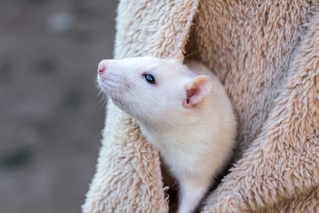 Um rato branco domesticado espreita do bolso da jaqueta.