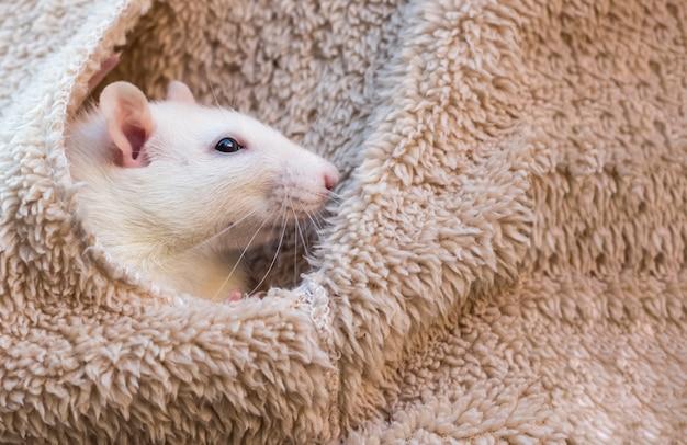 Um rato branco domesticado está sentado no bolso de uma jaqueta.