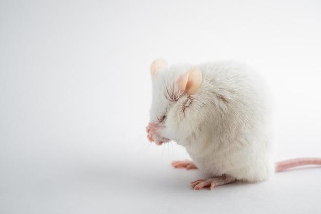 Um rato branco engraçado esconde seu focinho com suas patas animais para experimentos científicos