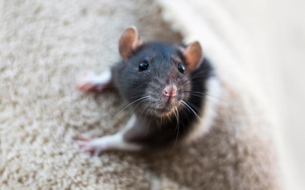 Um rato cinza espreita para fora do bolso de suas roupas encaracoladas.