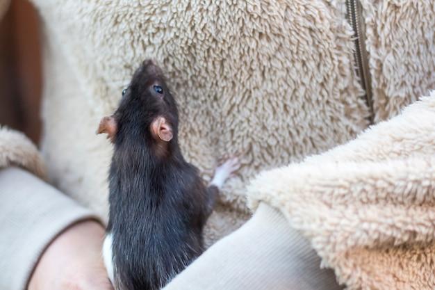 Um rato cinza nas mãos de uma mulher com uma jaqueta.