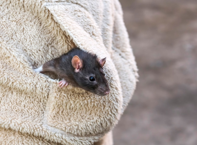 Um rato cinzento domesticado caminhando ao ar livre em um bolso de jaqueta.