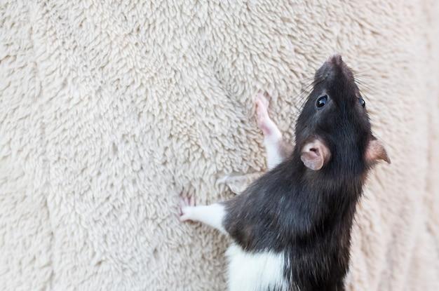 Um rato curioso sobe na superfície do tecido com uma cópia do espaço.