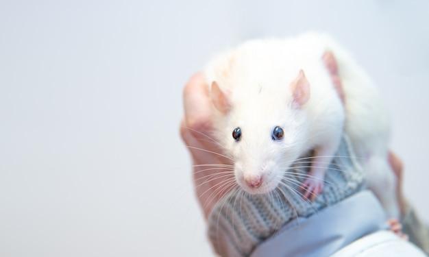 Um rato de laboratório branco nas mãos dos cuidadores