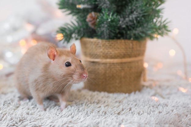 Um rato decorativo engraçado dourado bege bonito com um bigode grande está sentado na pele no fundo do feriado de ano novo com guirlandas de natal, cópia espaço, um espaço em branco para um cartão de ano novo 2020 com espaço