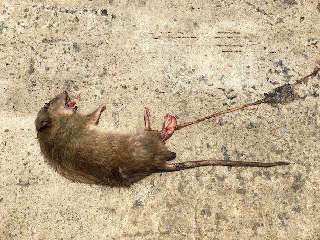 Um rato morto estava deitado em uma estrada de concreto e o corpo encostado no chão.