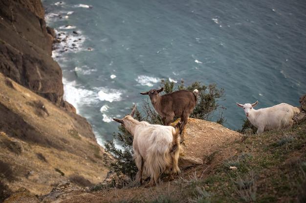 Um rebanho de cabras da montanha em pé em um campo