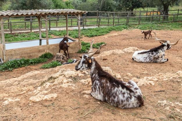 Um rebanho de cabras portuguesas é mantido no estábulo. para pastar.