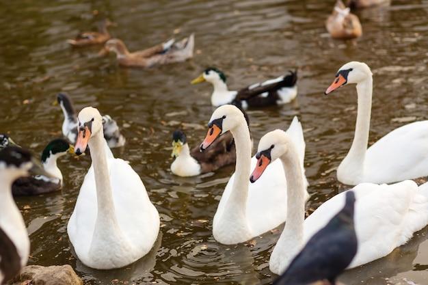 Um rebanho de cisnes e patos em um lago de natação em um parque da cidade