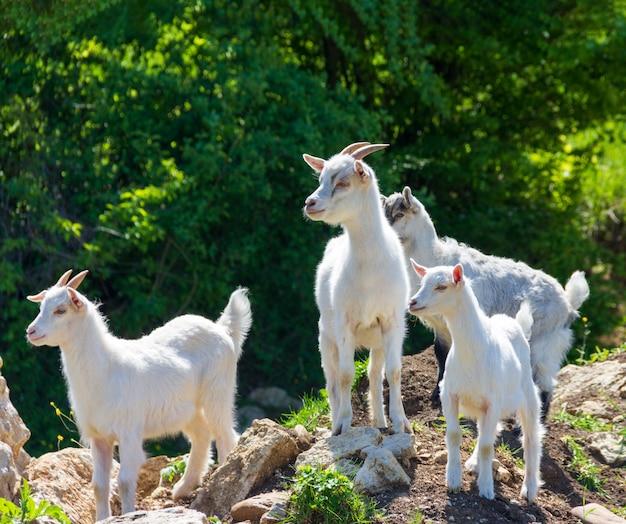 Um rebanho de jovens cabras brancas pastam em pastagens em um dia ensolarado de primavera