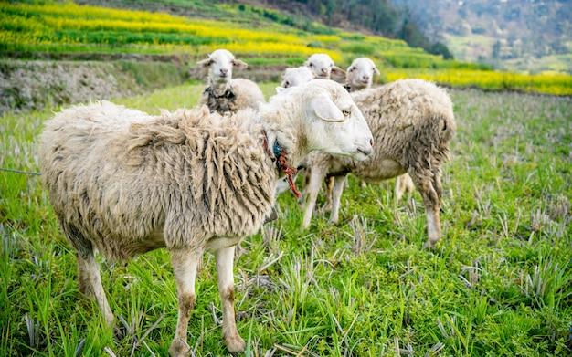 Um rebanho de ovelhas em um belo prado de montanha em kathmandu nepal