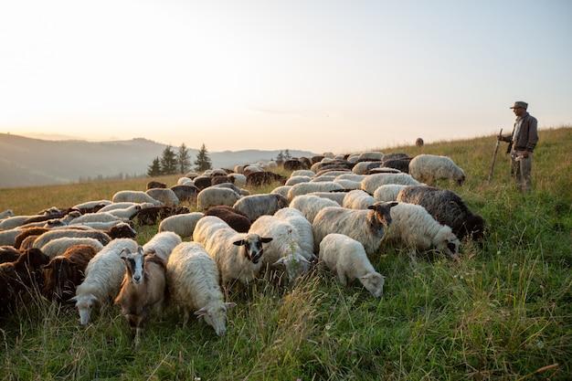 Um rebanho de ovelhas em uma colina nos raios do pôr do sol.