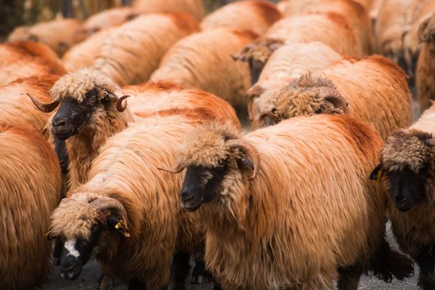Um rebanho de ovelhas está na estrada.