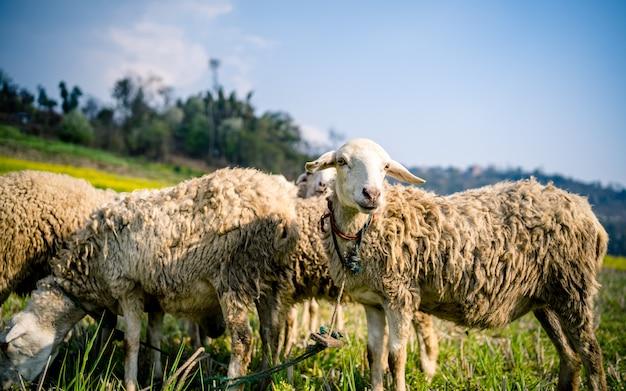 Um rebanho de ovelhas no belo prado montanhoso.