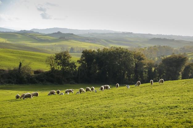 Um rebanho de ovelhas pastando nas colinas da toscana. itália.