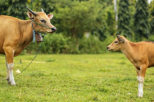Um rebanho de vacas asiáticas tropicais brilhantes que pastam na grama verde, vaca grande com vitela.